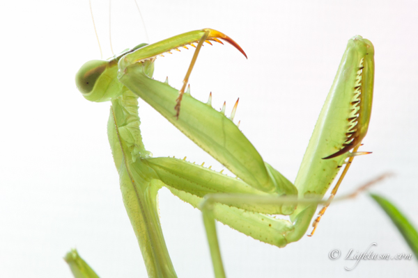 Prey Mantis Macro